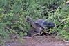 Giant Tortoise walking out of brush on Isabela Island~Galapagos, Ecuador