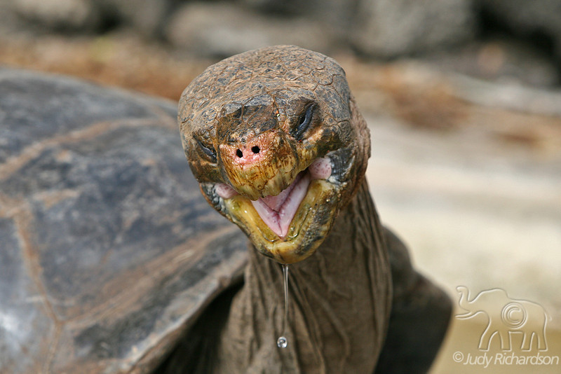 Giant Tortoise with water drip after drinking at Darwin Center on Santa Cruz Island~Galapagos, Ecuador