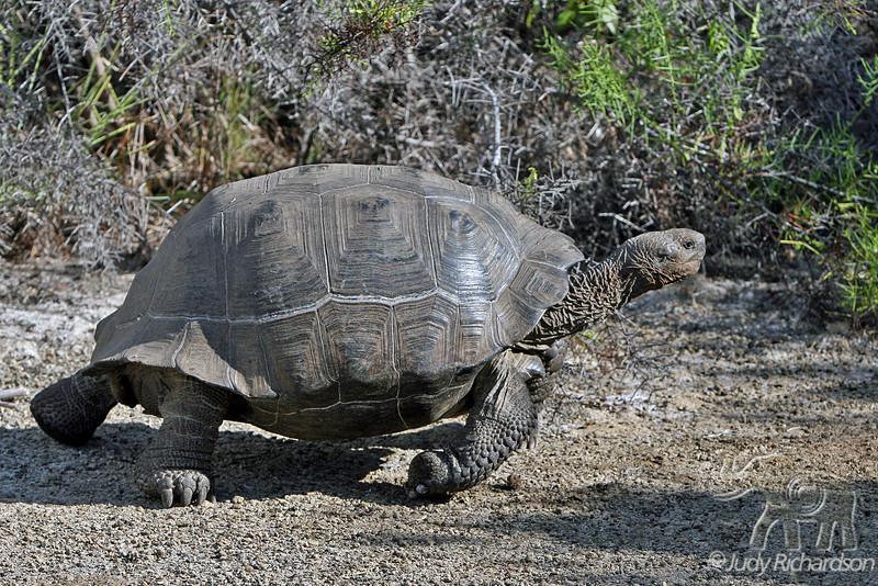 Giant Tortoise walking on Isabela Island~Galapagos, Ecuador