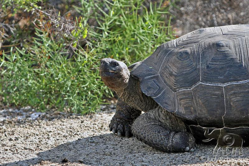 Giant Tortoise resting on Isabela Island~Galapagos, Ecuador