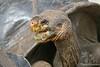 Giant Tortoise after drinking water at Darwin Center on Santa Cruz Island~Galapagos, Ecuador