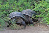 Giant Tortoise coming out of bushes on Isabela Island~Galapagos, Ecuador