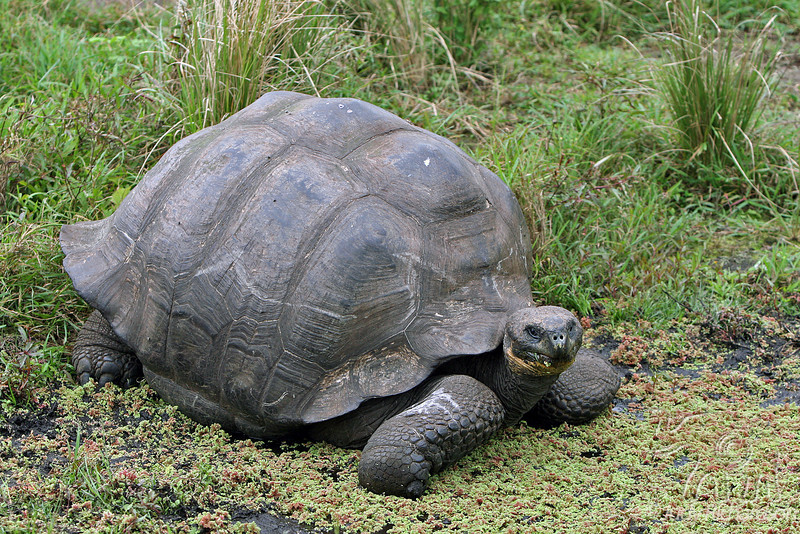 Giant Tortoise at highlands on Santa Cruz Island~Galapagos, Ecuador
