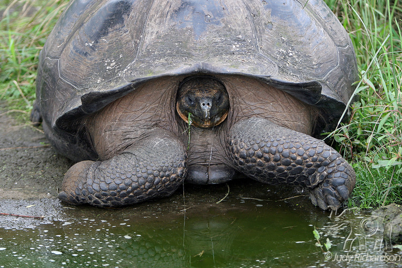 Giant Tortoise at highlands on Santa Cruz Island~Galapagos, Ecuador