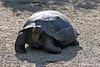 Giant Tortoise  on Isabela Island~Galapagos, Ecuador