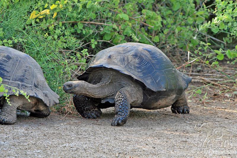 Giant Tortoise walking and following the leader on Isabela Island~Galapagos, Ecuador