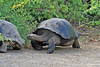Giant Tortoise walking and following the leader on Isabela Island~Galapagos, Ecuador
