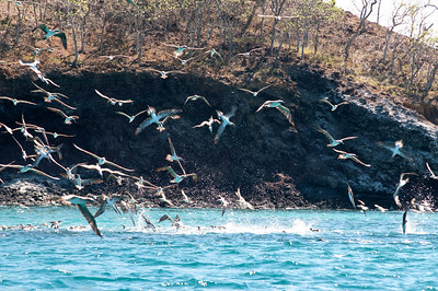 Feeding frenzy!  Incredibly kinetic display of hundreds of boobies diving on a school of fish.  008_jfid_20090405_6642