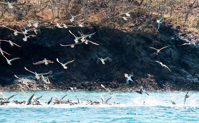 Feeding frenzy!  Incredibly kinetic display of hundreds of boobies diving on a school of fish.  010_jfid_20090405_6670