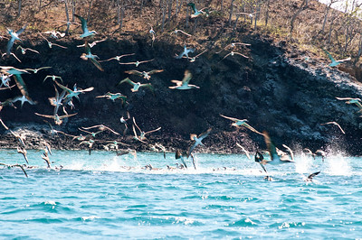 Feeding frenzy!  Incredibly kinetic display of hundreds of boobies diving on a school of fish.  009_jfid_20090405_6643