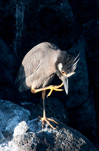 Striated heron  008_jfid_20090407_7341