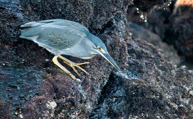 Striated heron  005_jfid_20090406_6959
