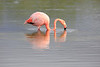 Lesser_Flamingo_0041