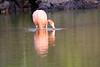 Lesser_Flamingo_0053