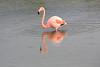 Lesser_Flamingo_0012