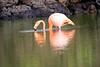 Lesser_Flamingo_0048