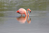 Lesser_Flamingo_0040
