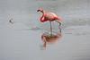 Lesser_Flamingo_0009