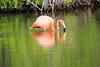 Lesser_Flamingo_0062