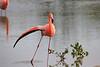 Lesser_Flamingo_0004
