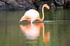 Lesser_Flamingo_0054