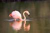 Lesser_Flamingo_0029