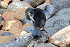 Galapagos_Flightless_Cormorant__0012