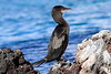 Galapagos_Flightless_Cormorant__0006