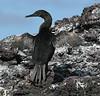 GalapagosCormorant (1)
