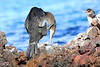 Galapagos_Flightless_Cormorant__0024