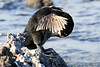 Galapagos_Flightless_Cormorant__0020