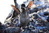 Galapagos_Flightless_Cormorant__0034