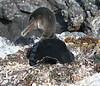 GalapagosCormorant (8)