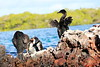 Galapagos_Flightless_Cormorant__0026