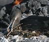 GalapagosCormorant (12)