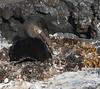 GalapagosCormorant (6)