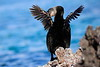 Galapagos_Flightless_Cormorant__0016