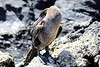 Galapagos_Flightless_Cormorant__0004