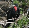 Frigatebird (63)