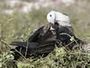 Frigatebird (2)