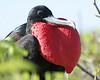 Frigatebird (6)