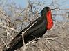Frigatebird (31)