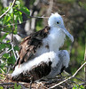 Great Frigatebird Galapagos