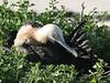 Frigatebird (55)
