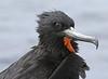 Frigatebird (48)