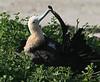 Frigatebird (53)