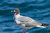 Swallow Tailed Gull Galapagos