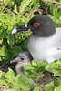 Swallow Tailed Gull Galapagos Chick