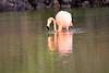Lesser_Flamingo_0059
