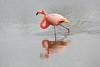 Lesser_Flamingo_0016